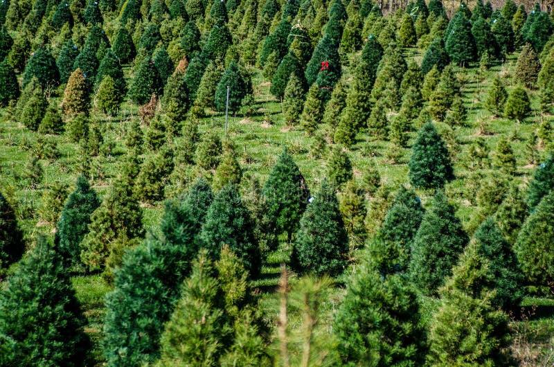 圣诞树农场 库存图片