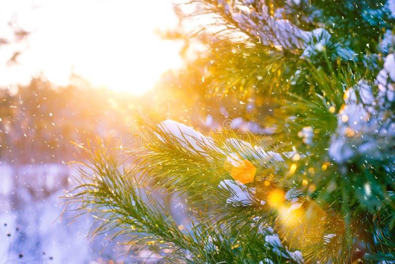圣诞树分支在太阳光芒,报道用在森林美丽如画的冬天风景的雪在日落 图库摄影