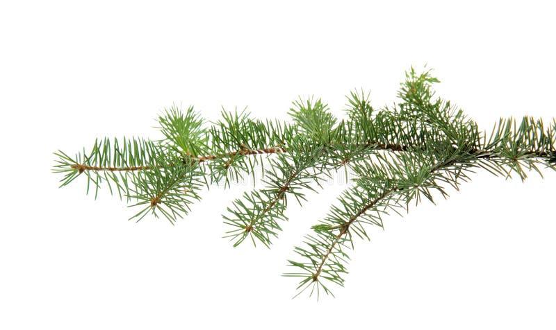 圣诞树分支 免版税库存照片