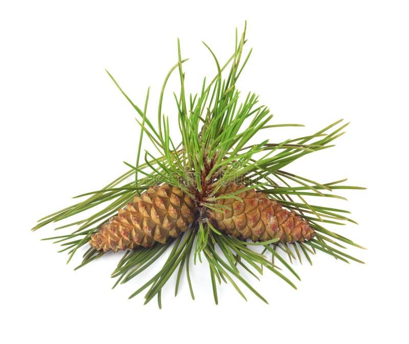 圣诞树和杉木锥体分支  免版税库存照片
