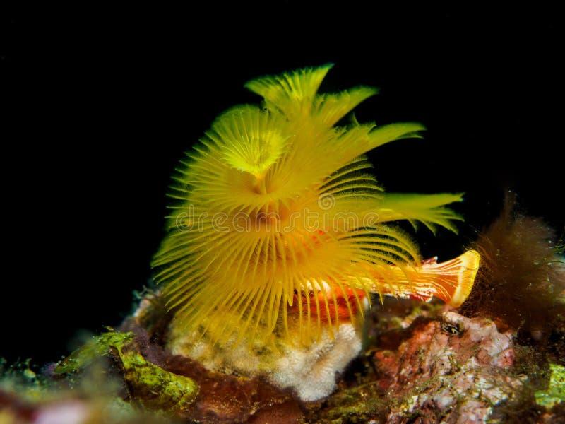 圣诞树管蠕虫珊瑚 图库摄影