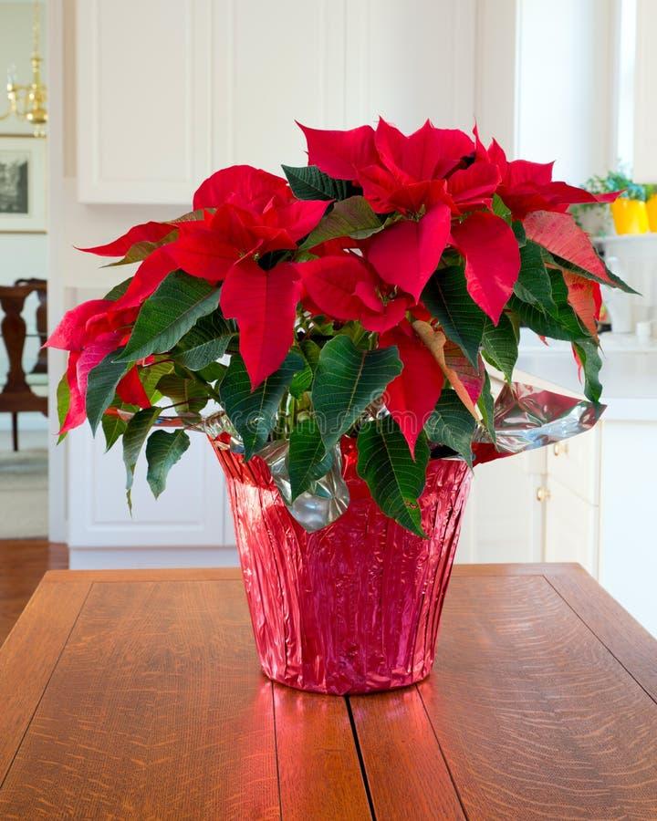 圣诞节一品红焦点 库存图片