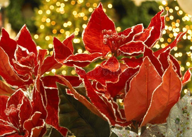 圣诞节一品红 库存照片