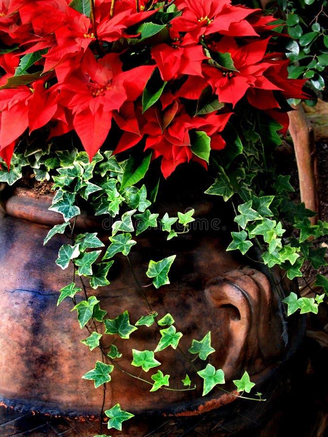 圣诞节一品红s 免版税库存照片