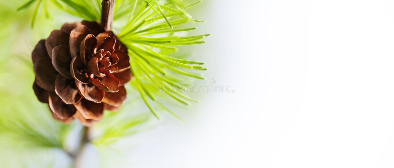 圣诞节与锥体的松树分支在白色 宏观自然,Xmas背景概念 软的焦点,浅深度领域 库存照片