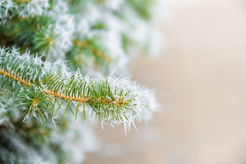 圣诞节冷杉木分支与外缘霜的在冬天森林里, 库存图片