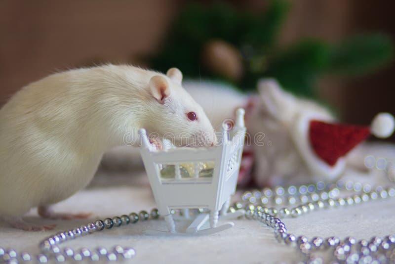 圣诞节动物 与一张小床的一只白色鼠 免版税库存图片