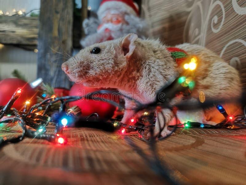 圣诞节动物 与圣诞节诗歌选的老鼠 库存图片