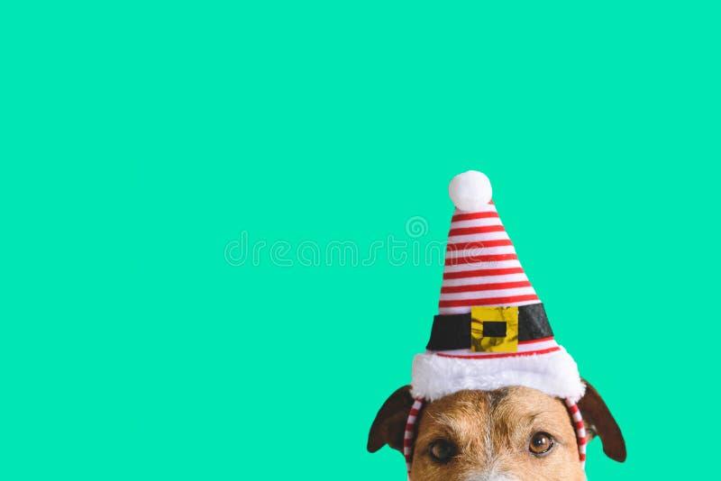圣诞节和新年与圣诞老人项目辅助矮子狗佩带的帽子的假日概念  免版税库存图片