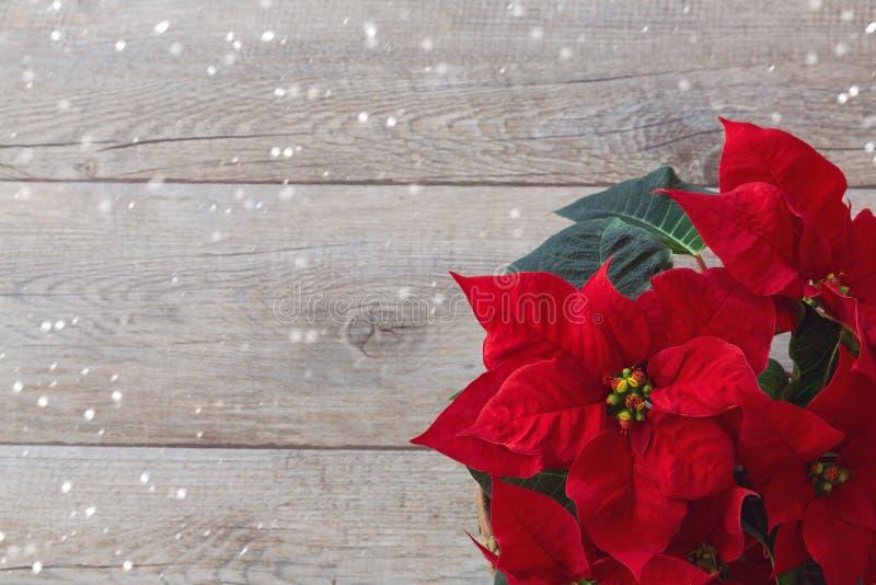 圣诞节在木背景的花一品红 免版税库存图片