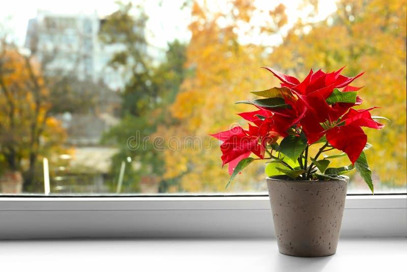 圣诞节在窗台的花一品红 库存图片