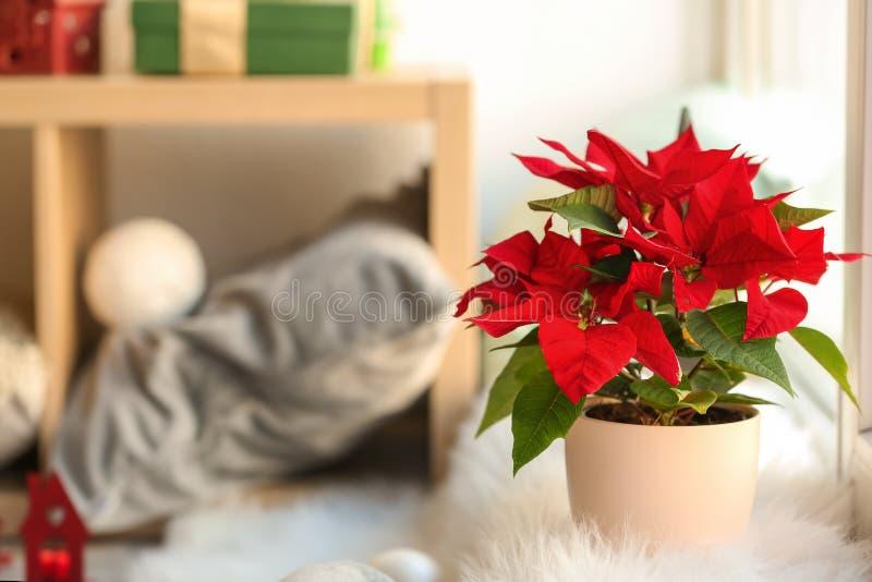圣诞节在窗台的花一品红 库存照片