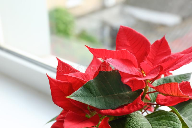 圣诞节在窗台,特写镜头的花一品红 图库摄影