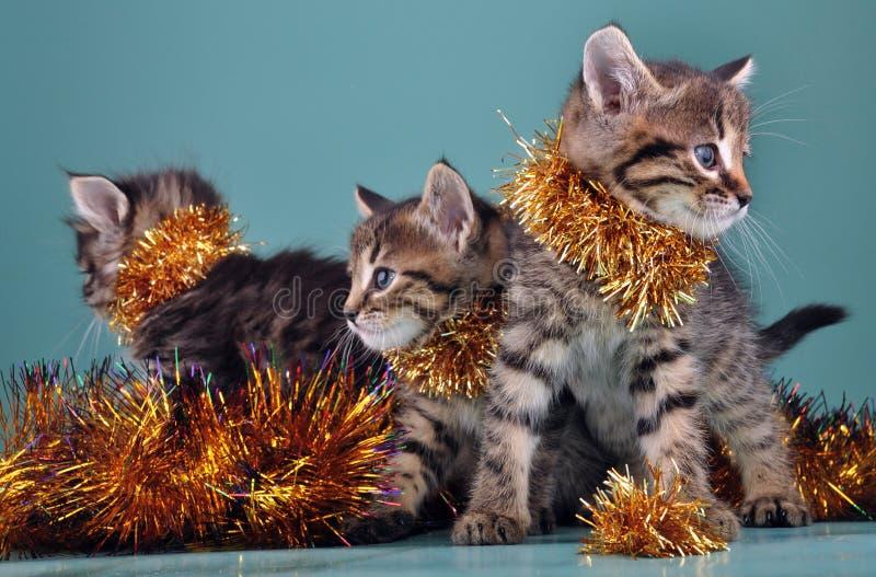 圣诞节小猫小组画象  免版税图库摄影