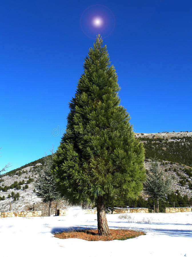 圣诞节庭院结构树 库存图片