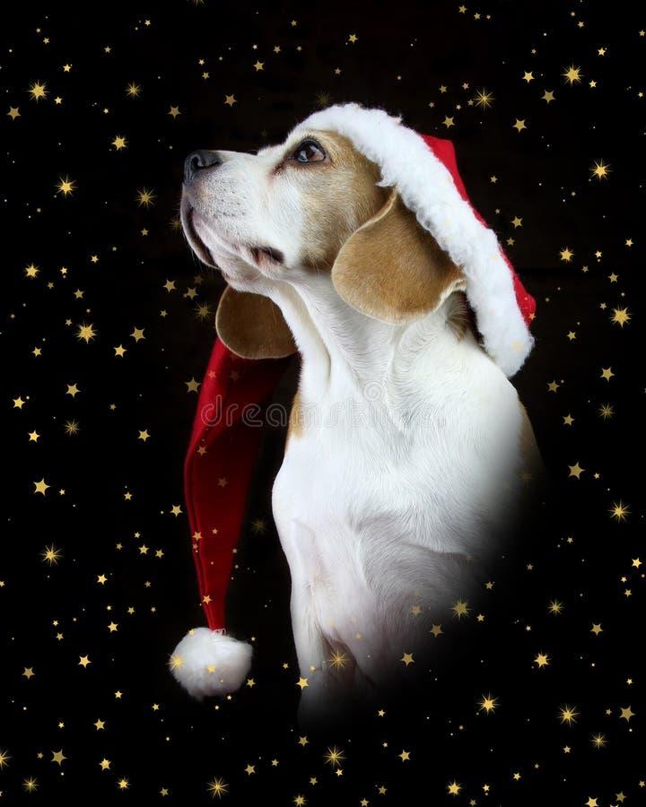 圣诞节戴圣诞老人帽子的小猎犬狗 免版税库存图片
