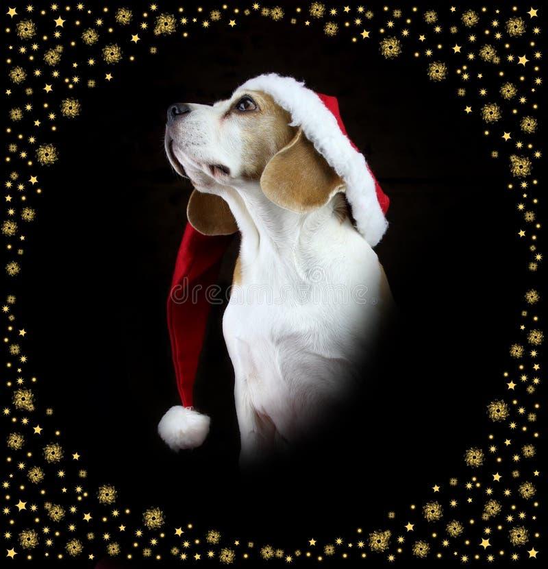 圣诞节戴圣诞老人帽子的小猎犬狗 库存照片