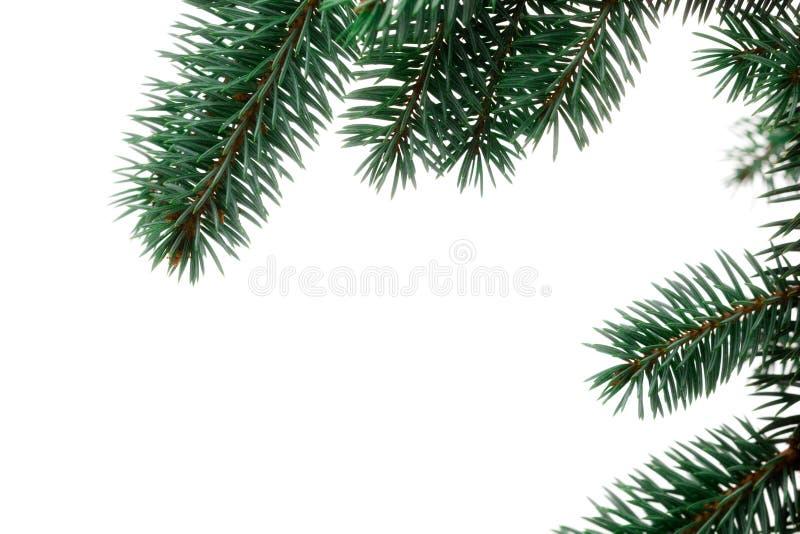 圣诞节杉木小树枝 库存照片