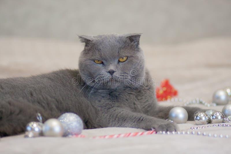 圣诞节概念猫,猫灰色英国猫美丽的动物 免版税库存图片