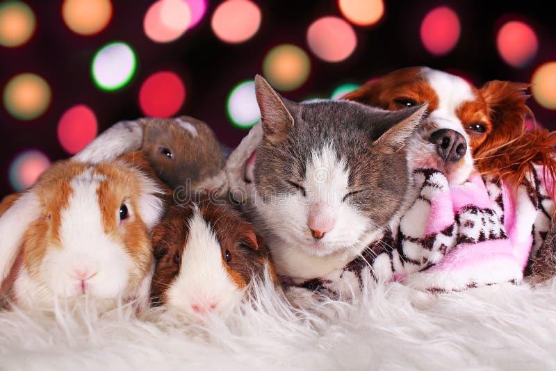 圣诞节猫狗兔子猪豚鼠一起彼此相爱的动物群动物休息的xmas天 免版税库存照片