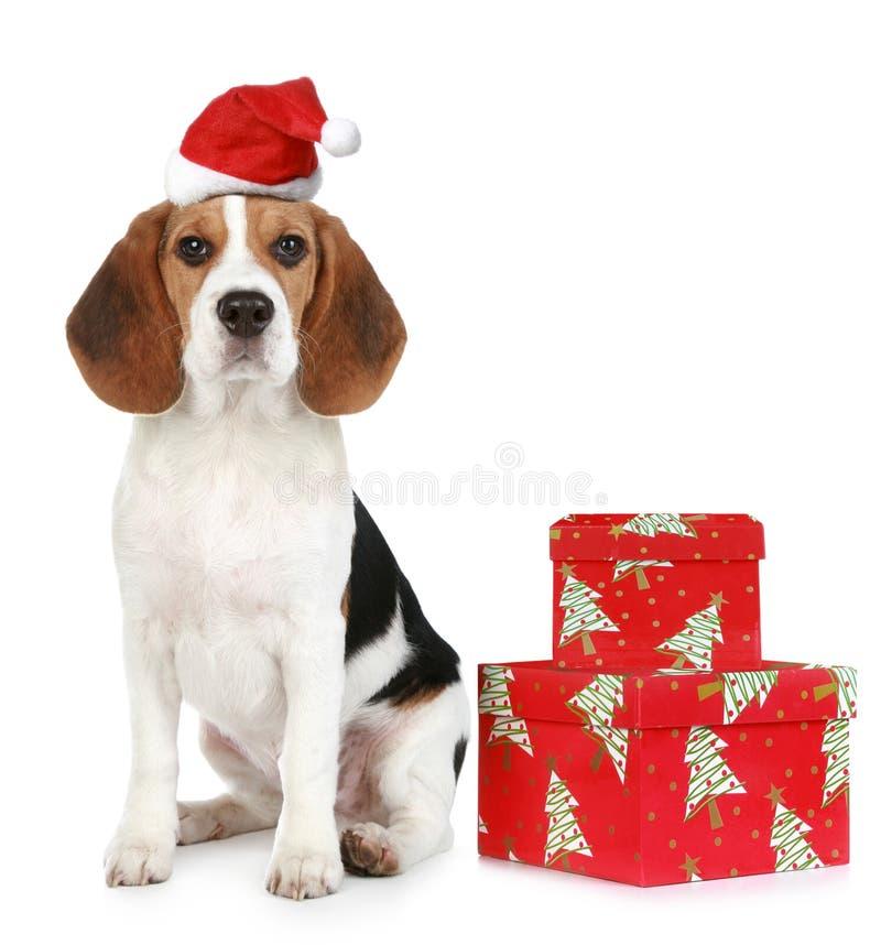 圣诞节礼品帽子小狗圣诞老人 免版税库存照片