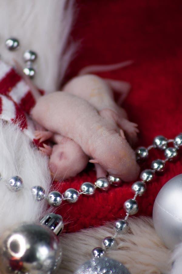 圣诞节老鼠 新出生的鼠在新年装饰 免版税库存图片