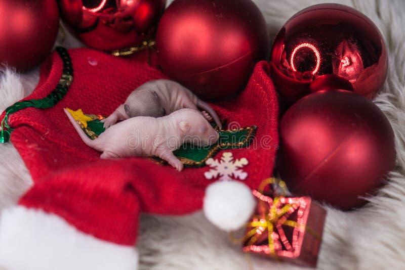 圣诞节老鼠 新出生的鼠在新年装饰 免版税库存照片