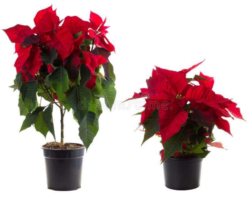 圣诞节花开花一品红罐 库存图片