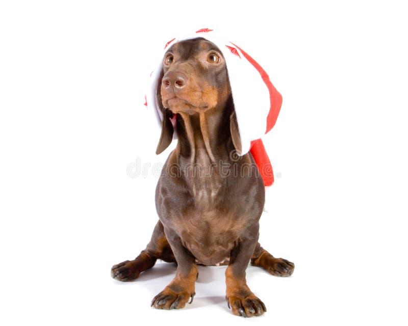 圣诞节达克斯猎犬 免版税库存图片