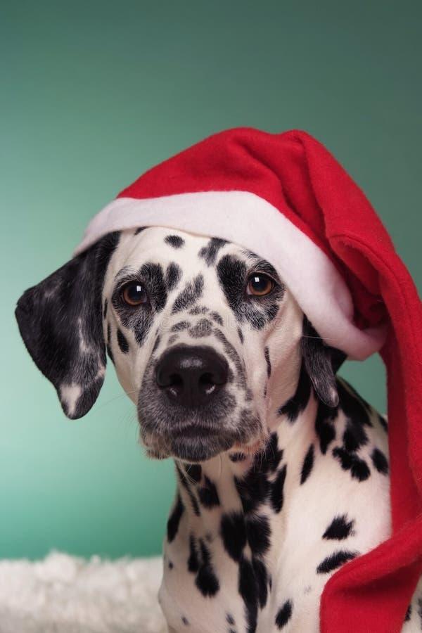 圣诞节达尔马提亚狗 免版税库存照片
