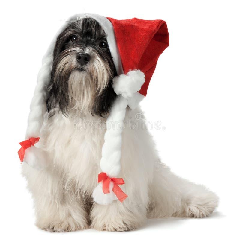 圣诞节逗人喜爱的havanese小狗 库存图片