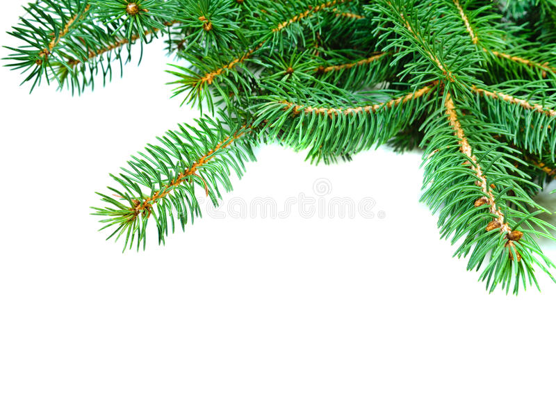 圣诞节evengreen杉树分支 免版税库存图片