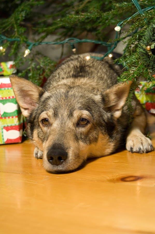 圣诞节vallhund 免版税库存照片