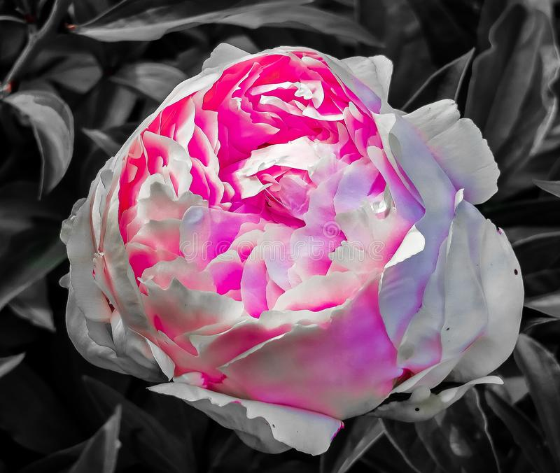 圣路易, MO美国-城市庭院罗斯开花 库存照片