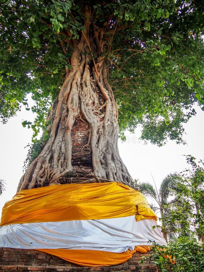 圣洁结构树 库存图片