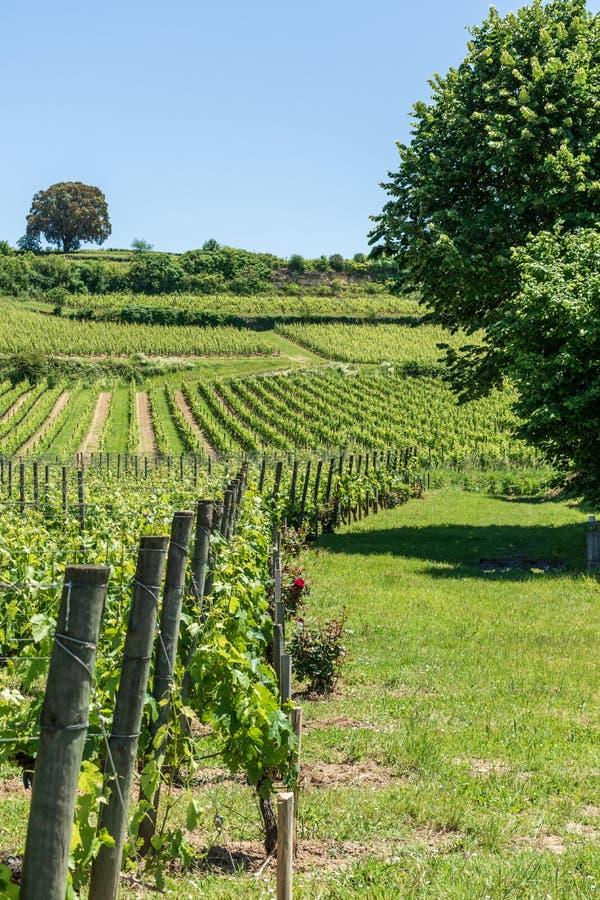 圣Emilion,在吉伦特省,法国:在中世纪村庄附近的葡萄园 库存照片