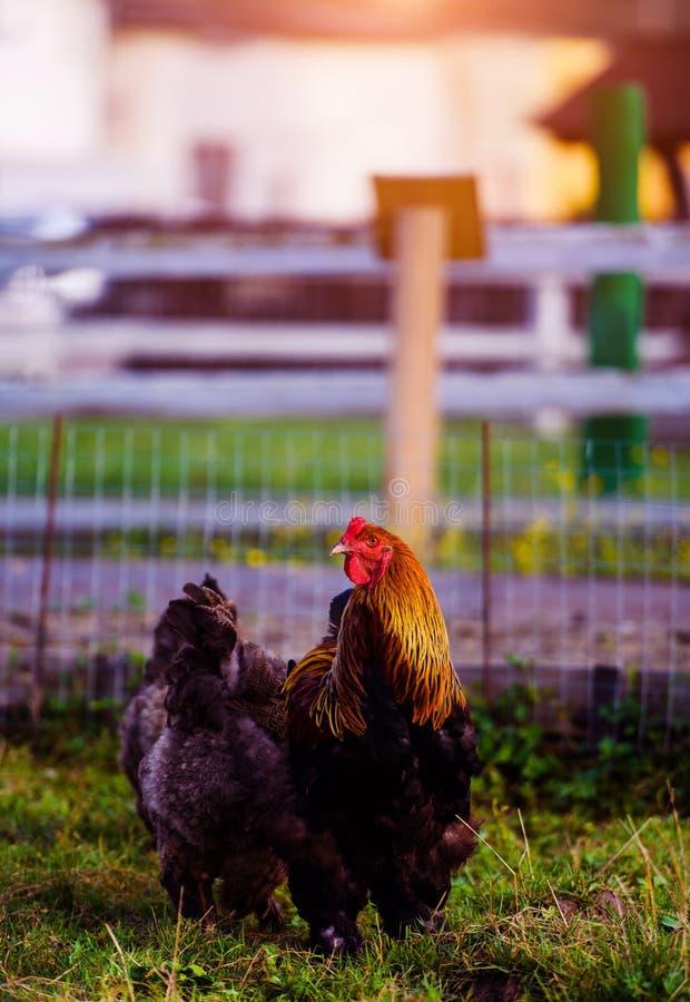 在一个传统家禽场的自由放养的鸡 库存图片