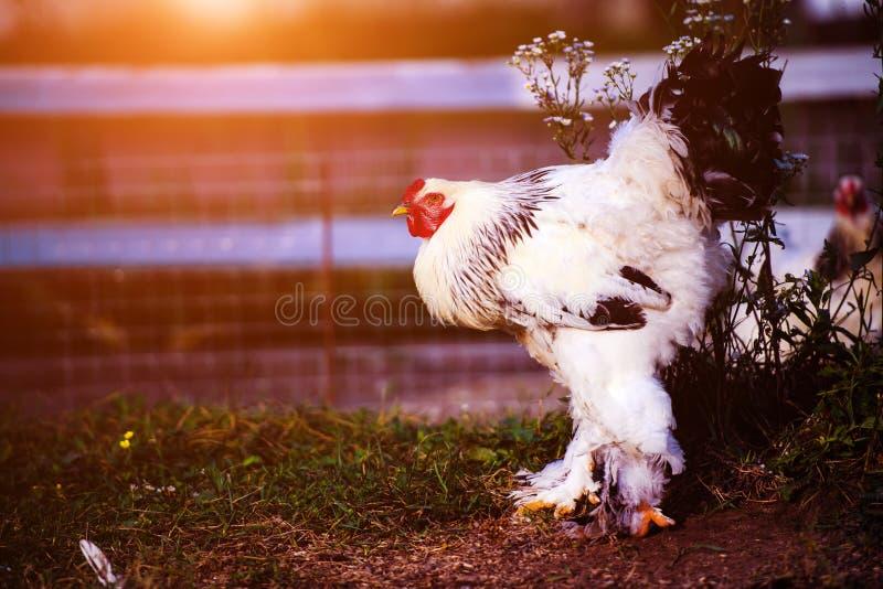 在一个传统家禽场的自由放养的鸡 图库摄影