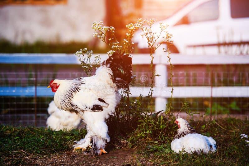 在一个传统家禽场的自由放养的鸡 免版税库存图片