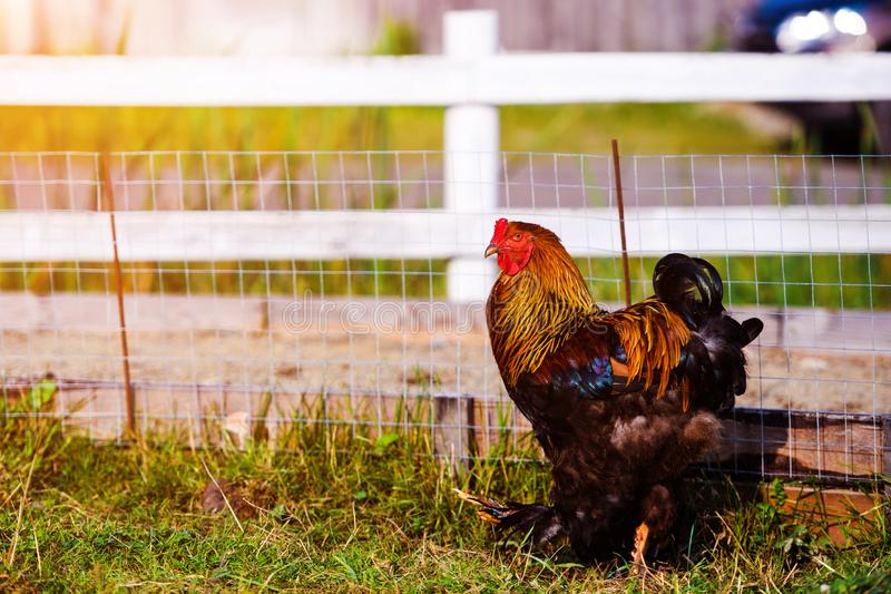 在一个传统家禽场的自由放养的鸡 免版税库存照片