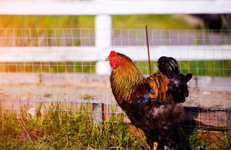 在一个传统家禽场的自由放养的鸡 库存照片