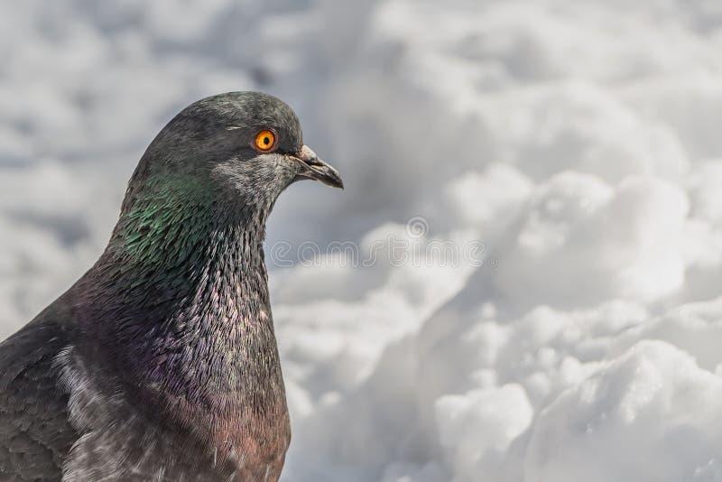 在一个公园描出一只美丽的灰色鸽子鸟portret与橙色眼睛的在一条白雪道路在冬天 库存图片