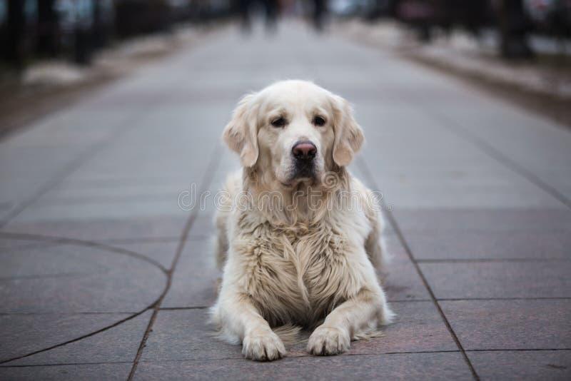 在一个公园的一条美丽,逗人喜爱和爱拥抱金毛猎犬狗在一个多云冬日 免版税库存照片