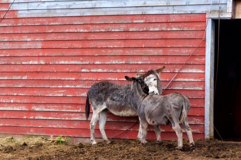 在一个农场的驮货驴子在加拿大西部 免版税库存照片