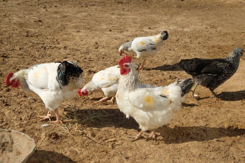 在一个农场的鸡雄鸡在一个禽畜围场 免版税库存照片