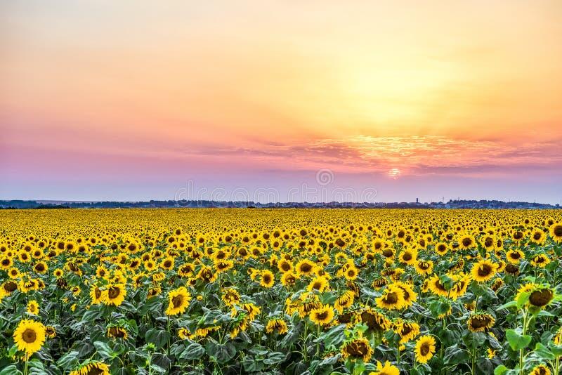 在一个农村平原的五颜六色的日落与向日葵的进展的领域 库存照片