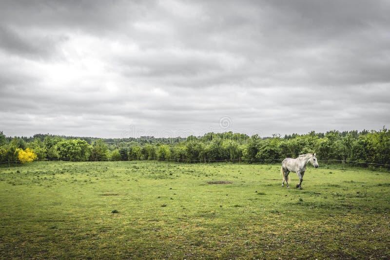 在一个农村领域的白马与篱芭 库存图片