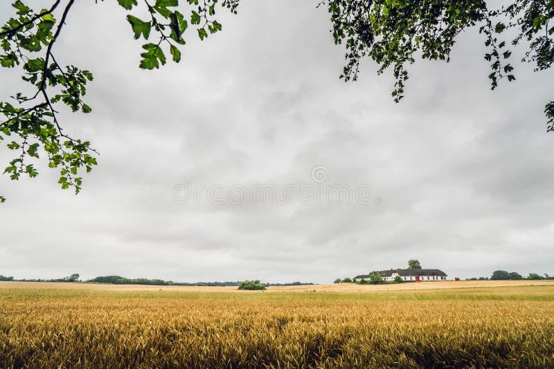 在一个农村领域的金黄五谷在多云天气 图库摄影