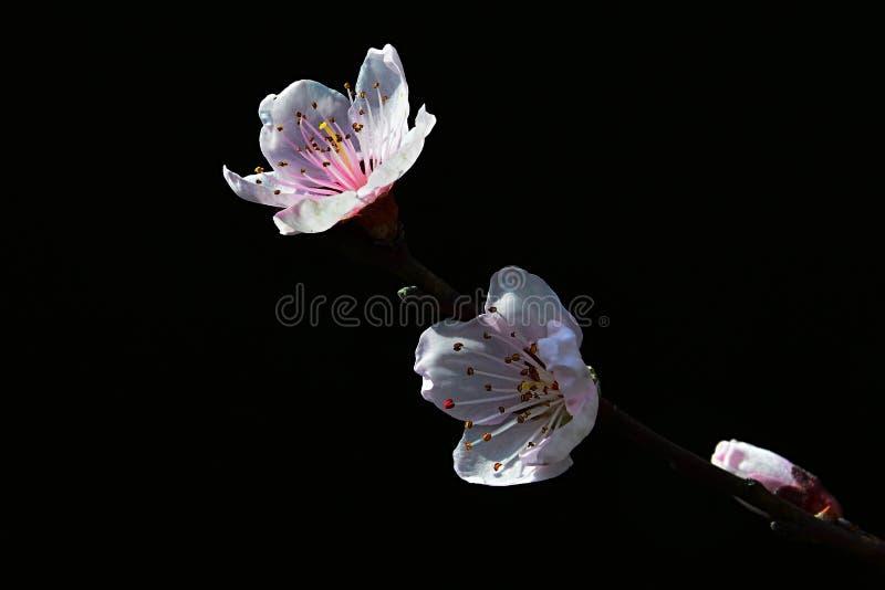 在一个分支技巧的苹果树罗盘星座Domestica白色和桃红色花在春天,黑暗的背景期间的 免版税图库摄影