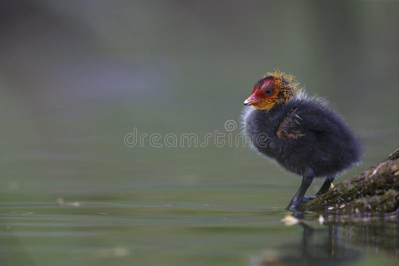 在一个分支栖息的一欧亚老傻瓜小鸡骨顶属atra在城市池塘在首都柏林德国 免版税库存图片